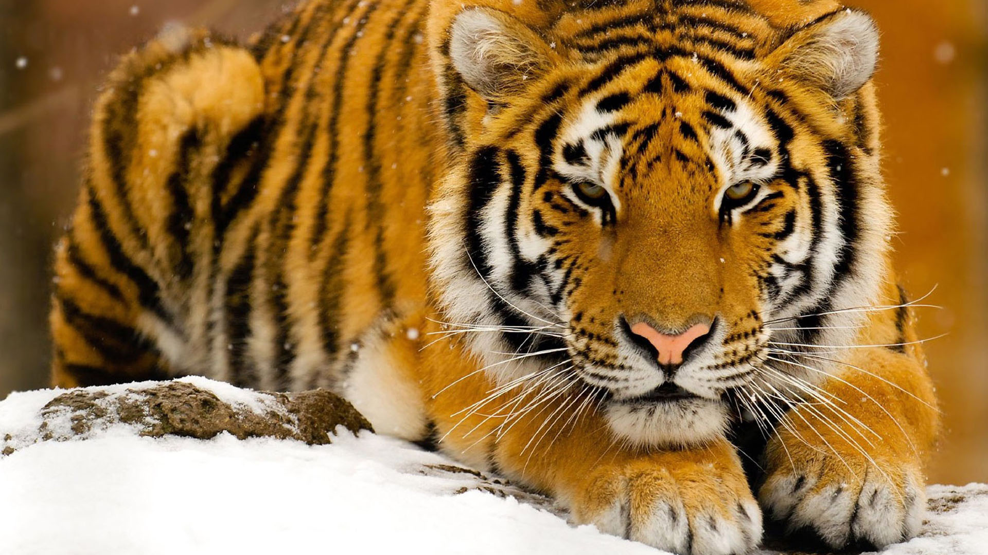 27279 Tiger wallpapers hd