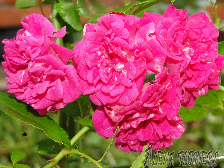 Плетистая роза хайдельберг 1